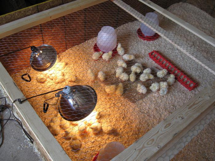Оборудование для цыплят своими руками